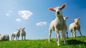 Vleesbenamingen lam (EN-NL)