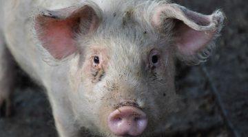 Vleesbenamingen varken (EN-NL)
