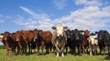 Vleesbenamingen rund (EN-NL)